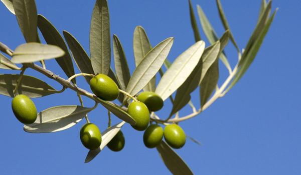 Arbequina-Olive aus Katalonien (Nordspanien)