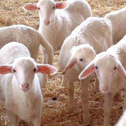 Reinrassige Manchego-Schafe