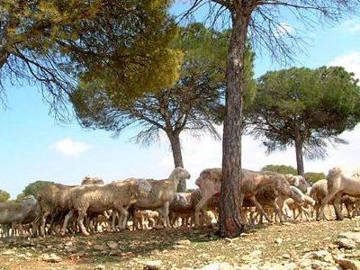 Manchego-Schafe in der Dehesa de Los Llanos
