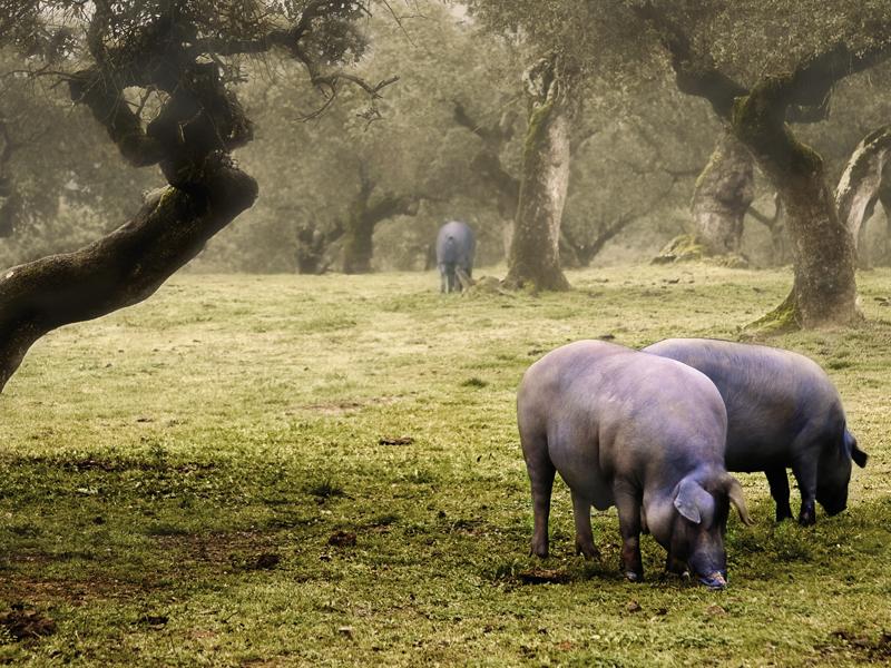 Ibérico Schweine in Freiland-Haltung (Quelle: Fotolia.de, 50075157)