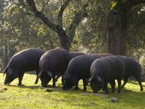 pata-negra-iberische-schweine