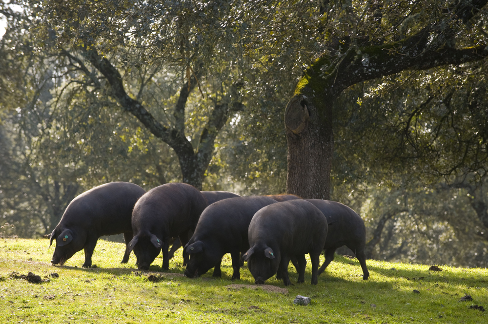 Ibérico-Schweine beim Grasen in der freien Natur der Dehesa (Foto: Shutterstock)
